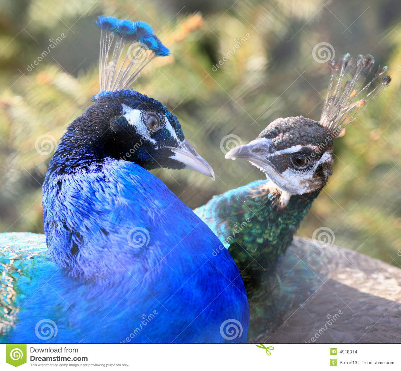 Beautiful Animal Wallpapers Peacocks In Love Stock Photo Image Of Animal Feathers