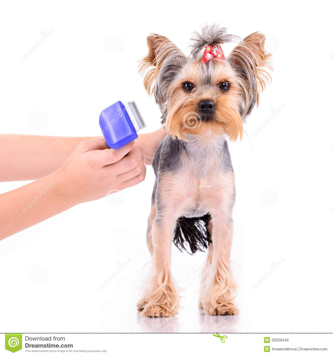 Coiffure Yorkshire Peigne De Terrier De Yorkshire Photo Stock Image 35026440