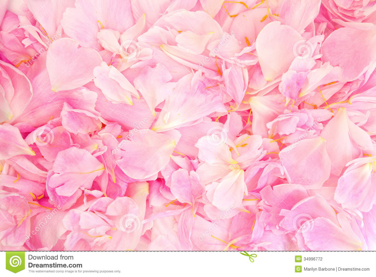 Peonies Wallpaper Iphone 6 Peony Petal Beauty Stock Photo Image Of Herbal Flora
