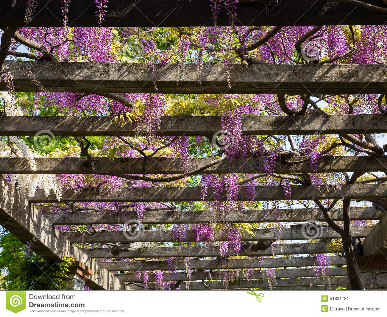 Pergola Glycine Pergola With Wisteria Stock Photo Image 51831781