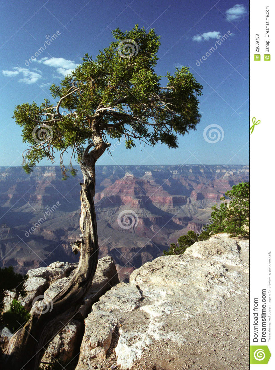 3d Animation Animals Wallpaper Pine Tree In Grand Canyon Royalty Free Stock Photos