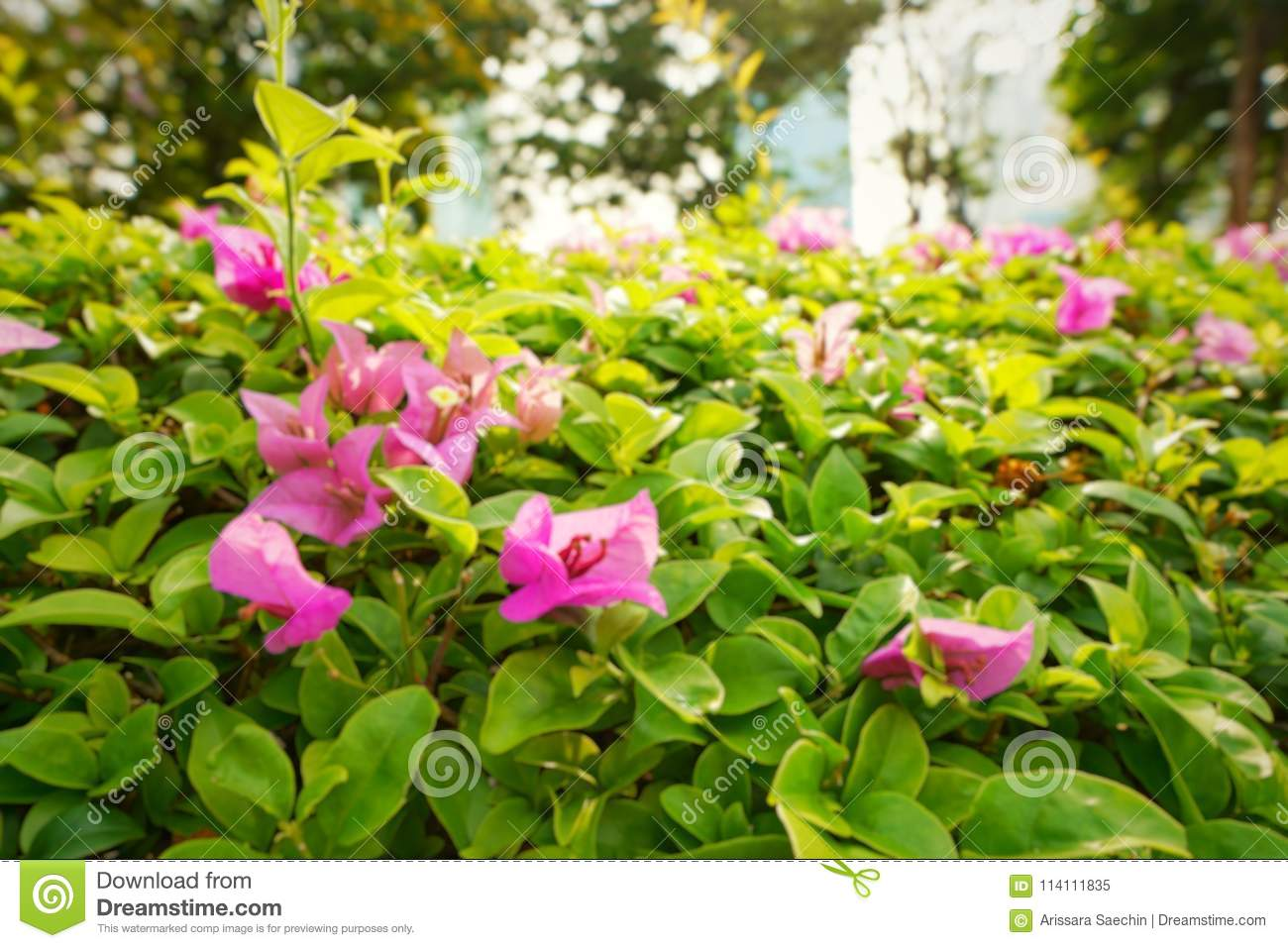 Bougainvillea Wallpaper Pink Flower On Green Natural Background Blooming Bougainvillea