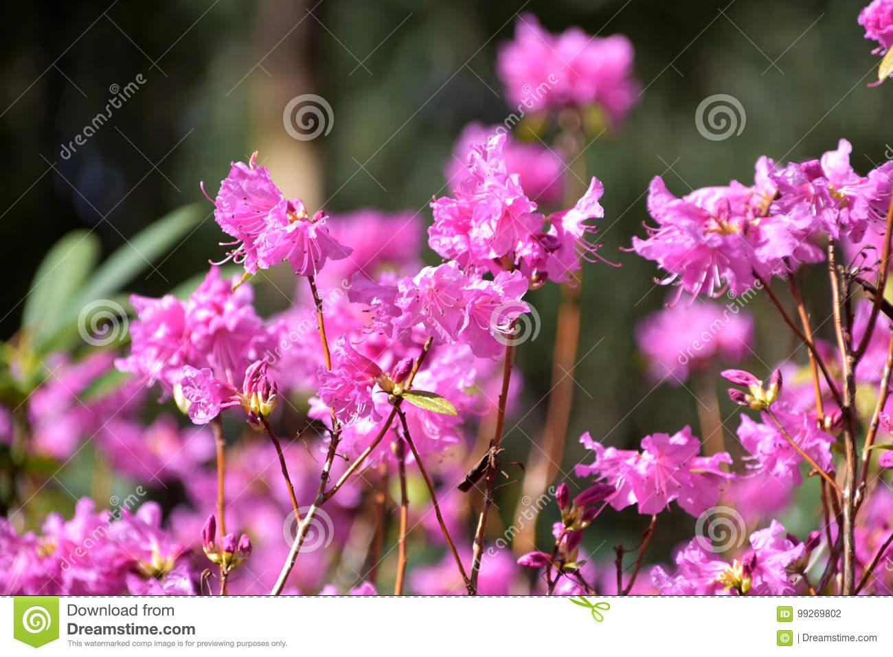 Pink Flowers Australia Pink Flowers Rhododendron Stock Photo Image Of Blossom