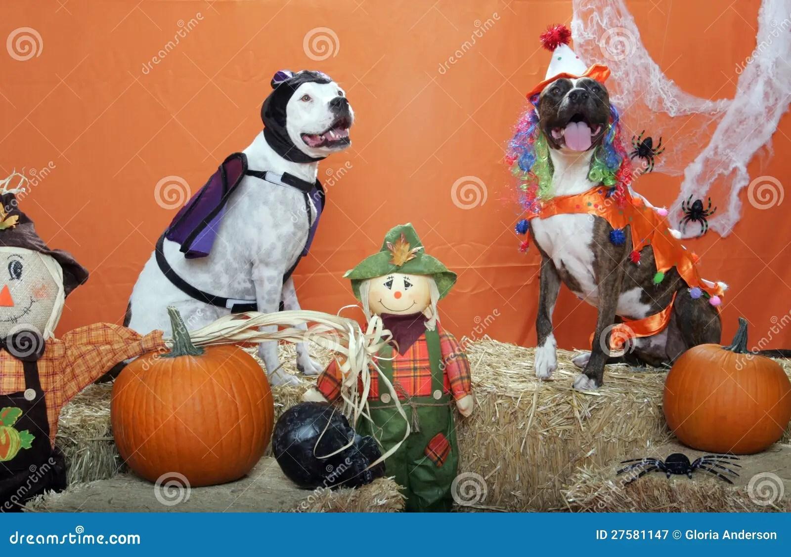 Www Cute Puppies Wallpaper Com Pitbulls Dressed Up For Halloween In Studio Stock Image