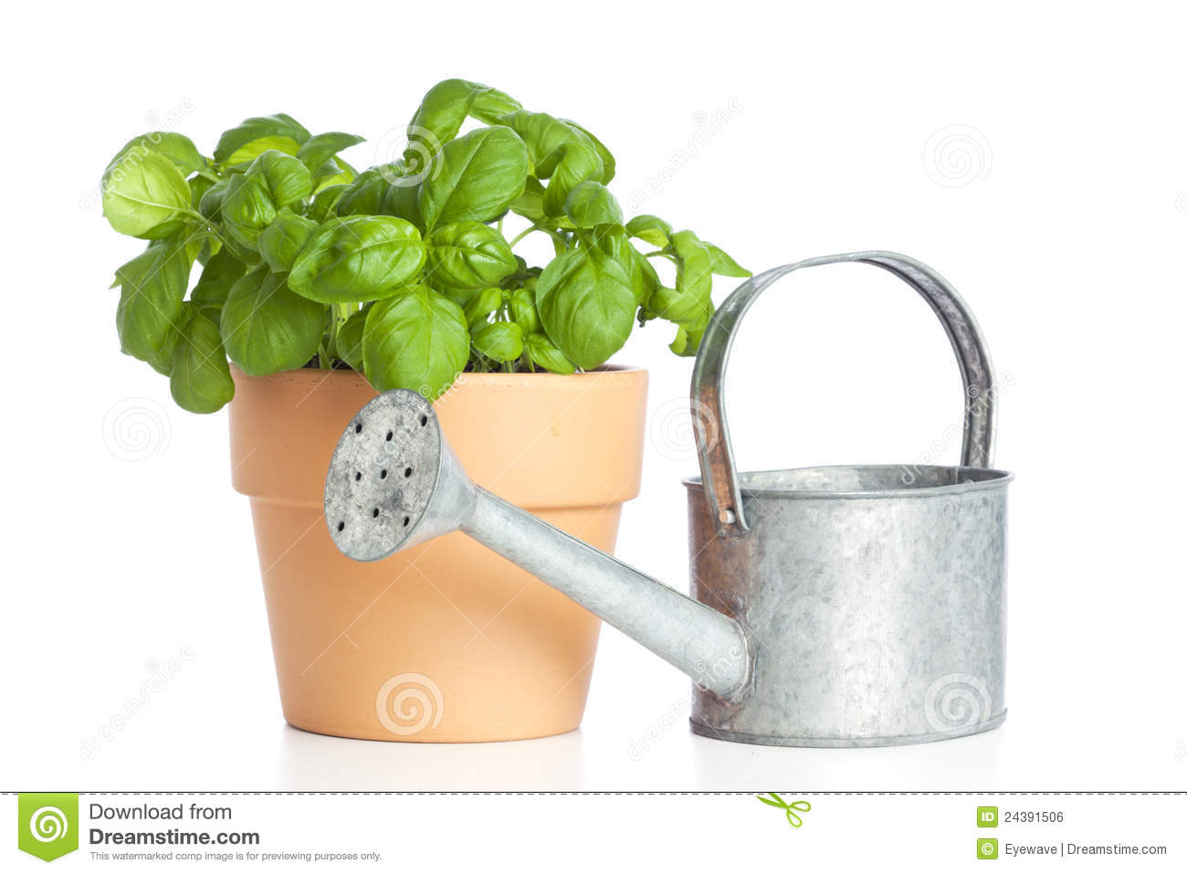 Plant Watering Cans Potted Basil Plant And Watering Can Royalty Free Stock