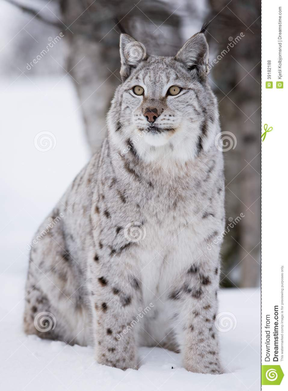 Bobcat Wallpaper Hd Proud Lynx Cat Sitting In The Snow Stock Photo Image Of