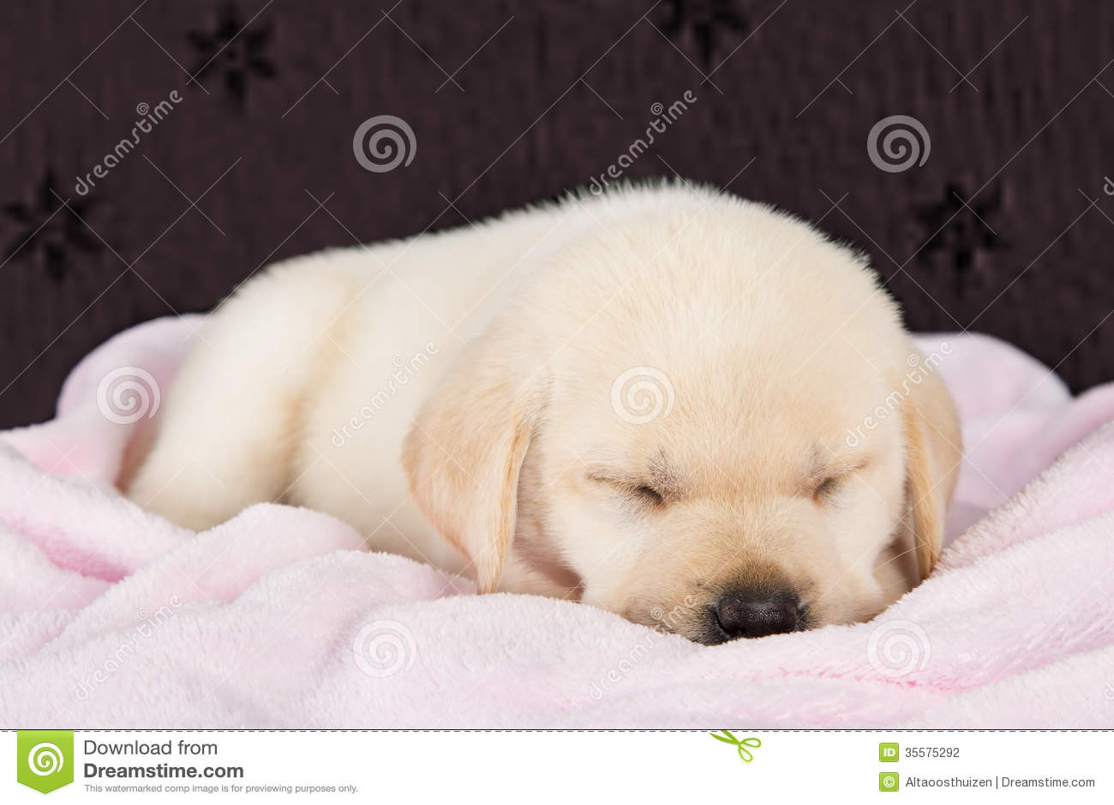 Cute Labrador Puppy Wallpaper Puppy Labrador Sleeping On Pink Fluffy Blanket Stock Photo