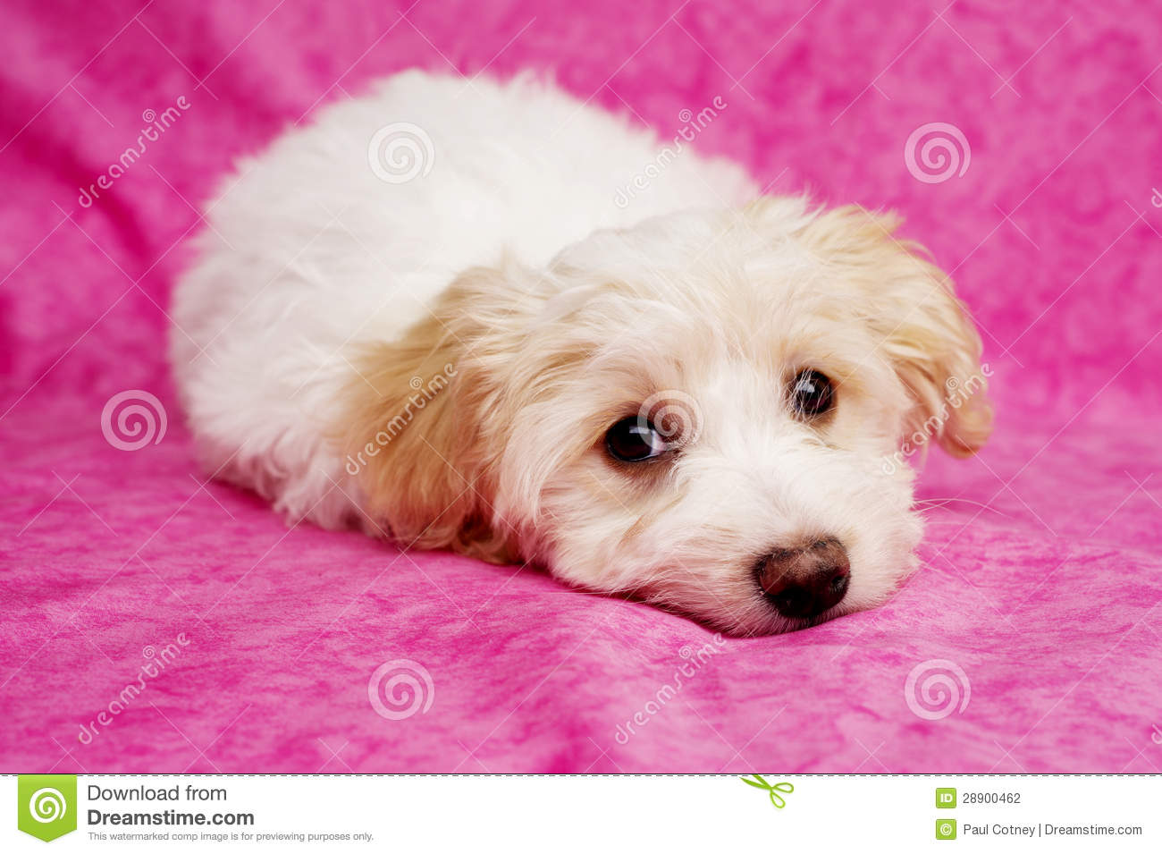Glitter Animal Print Wallpaper Puppy Laid On A Pink Background Stock Photo Image Of