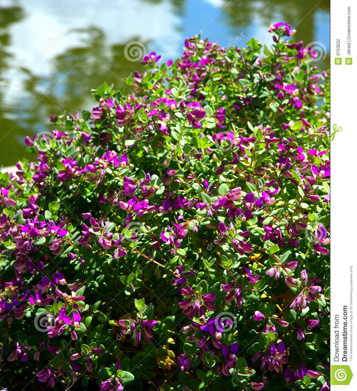 Winterharde Struiken Met Bloemen Purple Flowering Bush Stock Photography Image 9753632