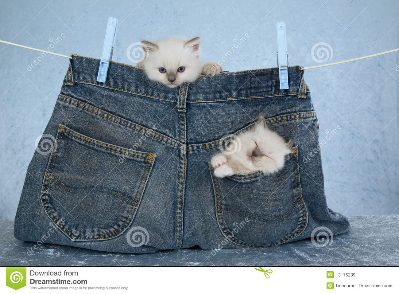 Cute Kitty Cat Wallpapers Ragdoll Kittens In Pocket Of Pants Royalty Free Stock