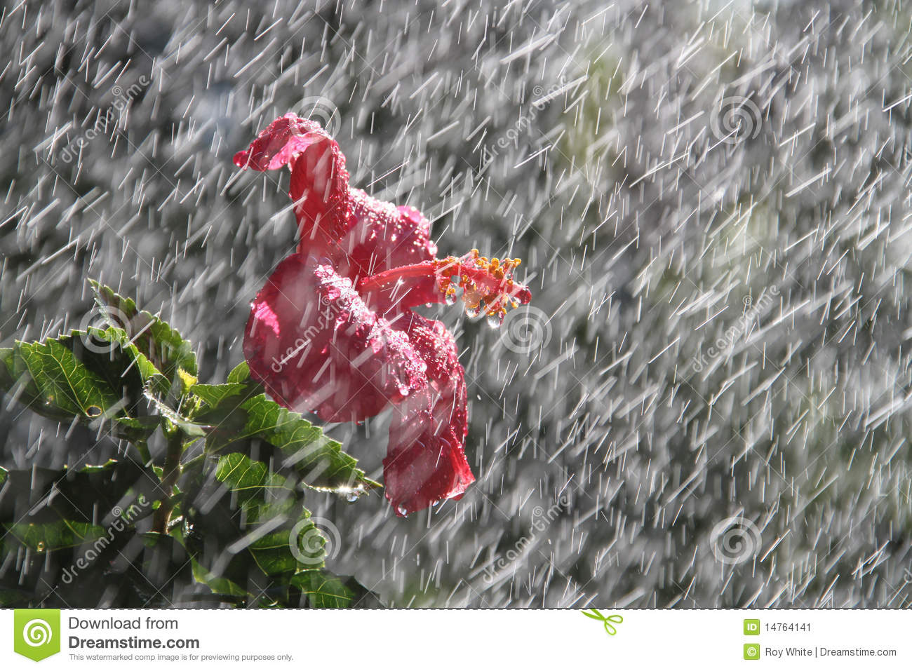 Hibiscus Flower With Leaves Rain Flower Stock Image. Image Of Life, Rain, Storm