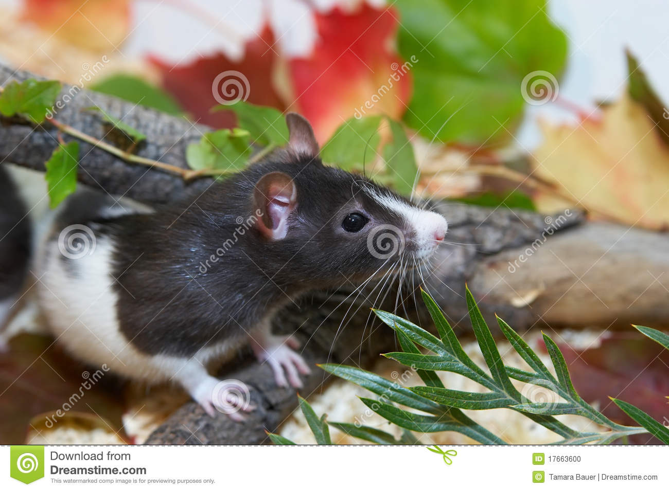 Rat Jardin Rat In Garden Stock Photo Image 17663600