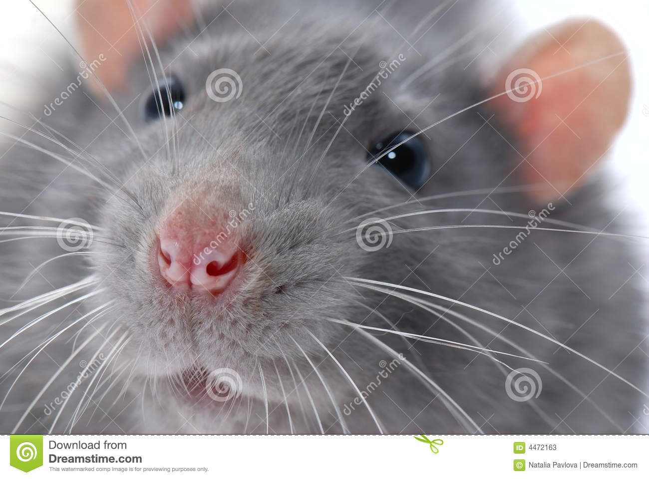 Animal Face Wallpaper Rat S Face Stock Image Image Of Rodent Close Macro