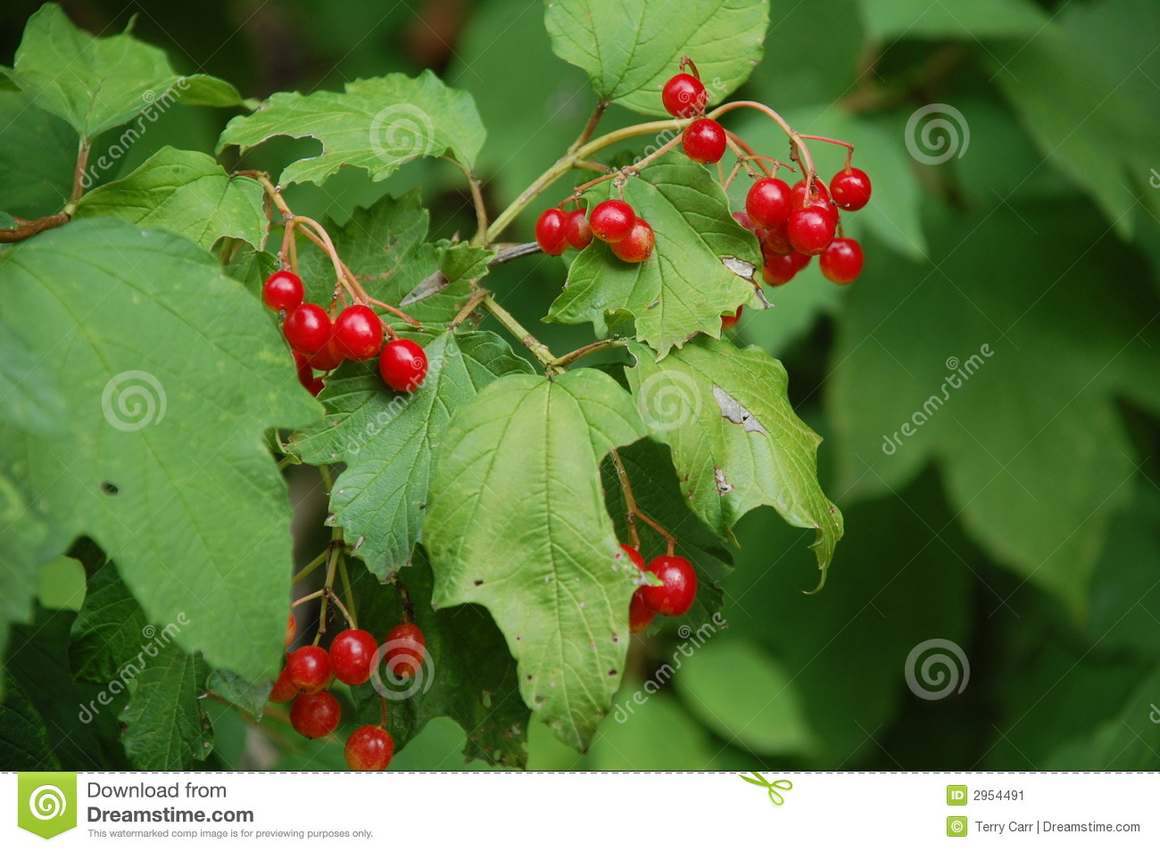 Plant Met Rode Bessen Red Berries On Bush Stock Image Image 2954491