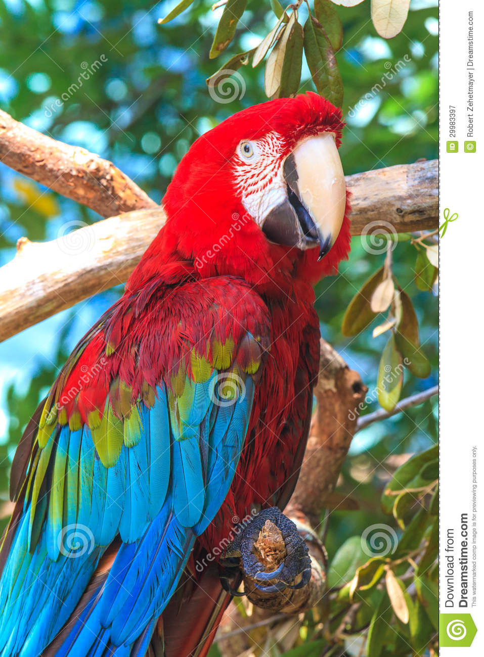 Red Animal Print Wallpaper Red Blue Ara Parrot Royalty Free Stock Photography Image