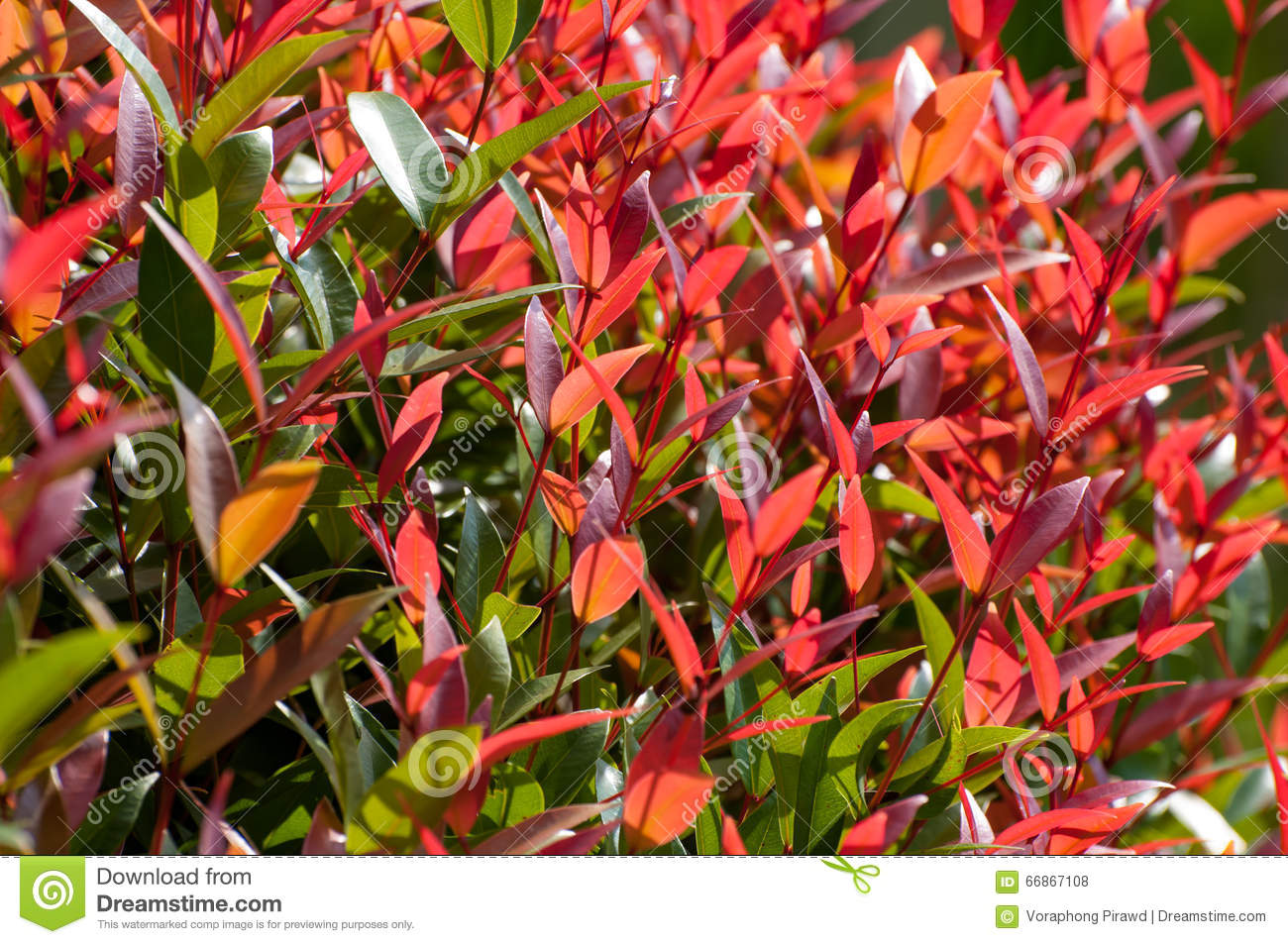Free Fall Foliage Wallpaper Red And Green Leaves On Bush Stock Photo Image Of