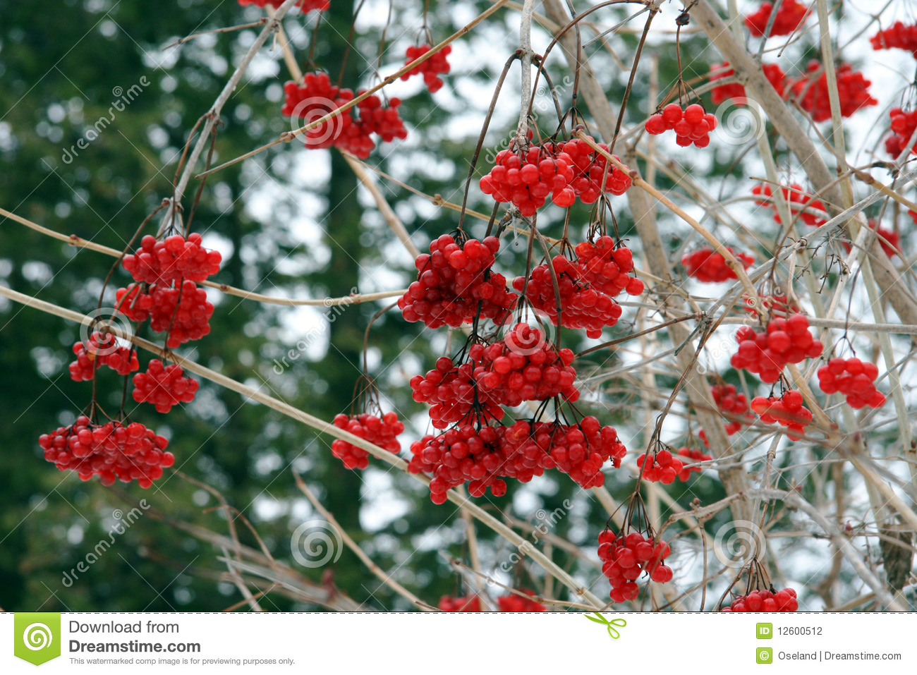 Plant Met Rode Bessen Red Winter Berries Stock Photography Image 12600512