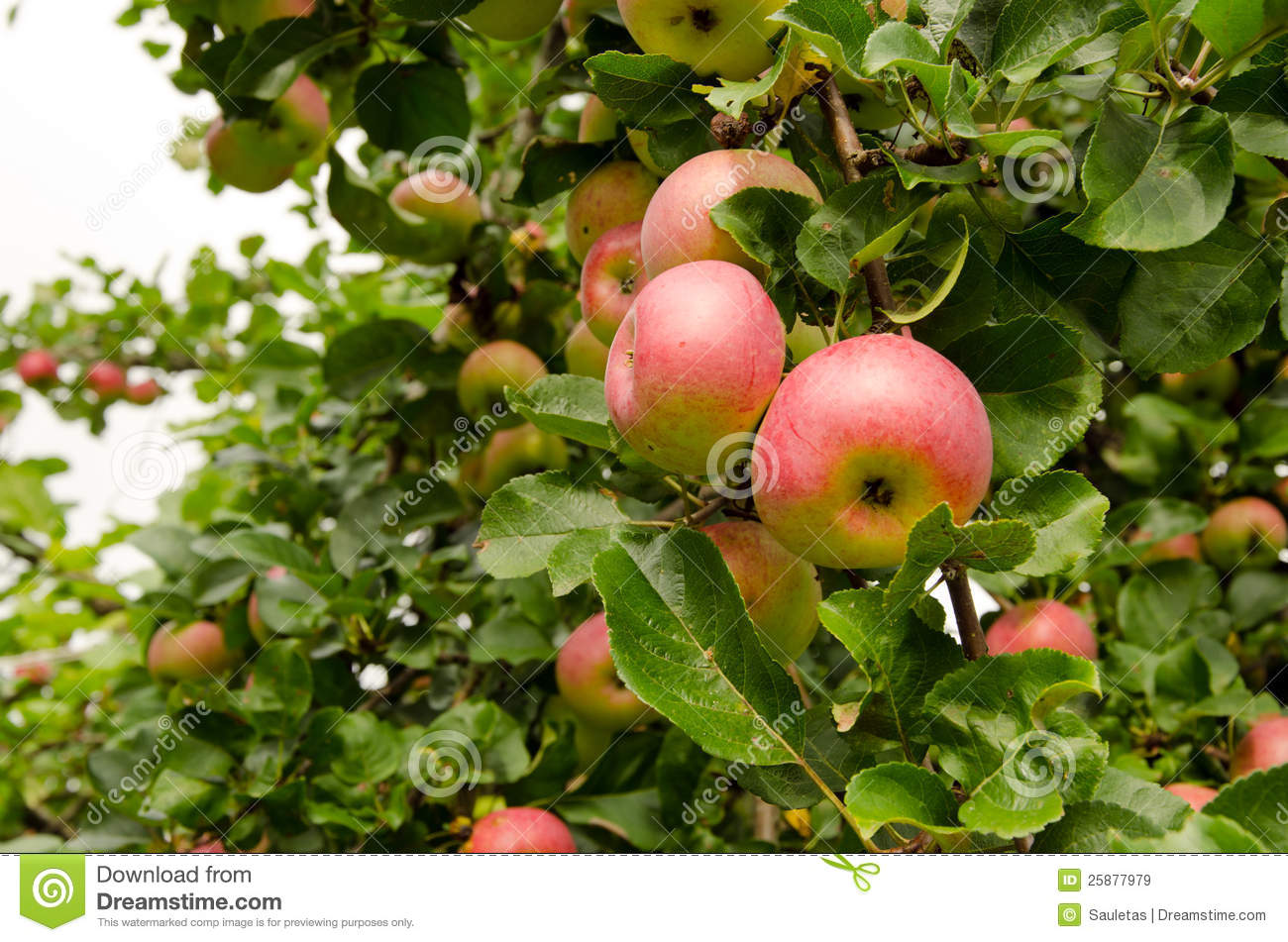 Fall Harvest Wallpaper Hd Ripe Apple Hang On Fruit Tree Branch Healthy Food Royalty