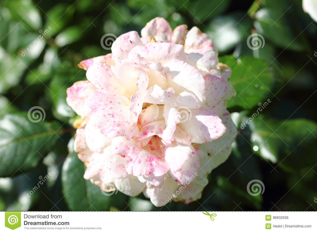 Plante Eternelle Rose Photo Stock Image Du Nature Famille Bouquet Thé