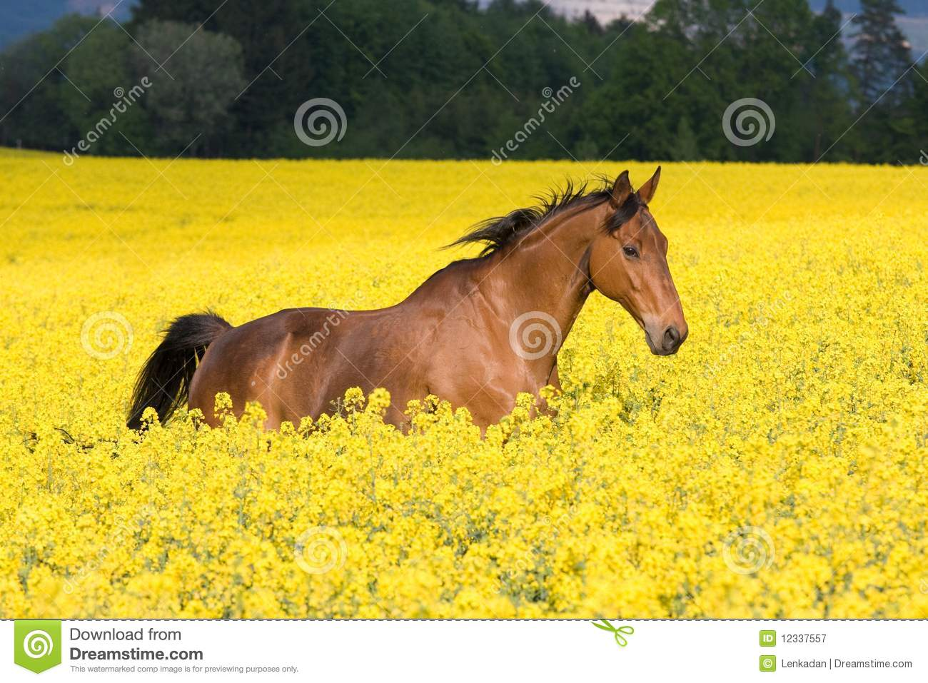 Most Beautiful Wallpapers Of Animals Running Horse In Colza Field Stock Image Image Of Body