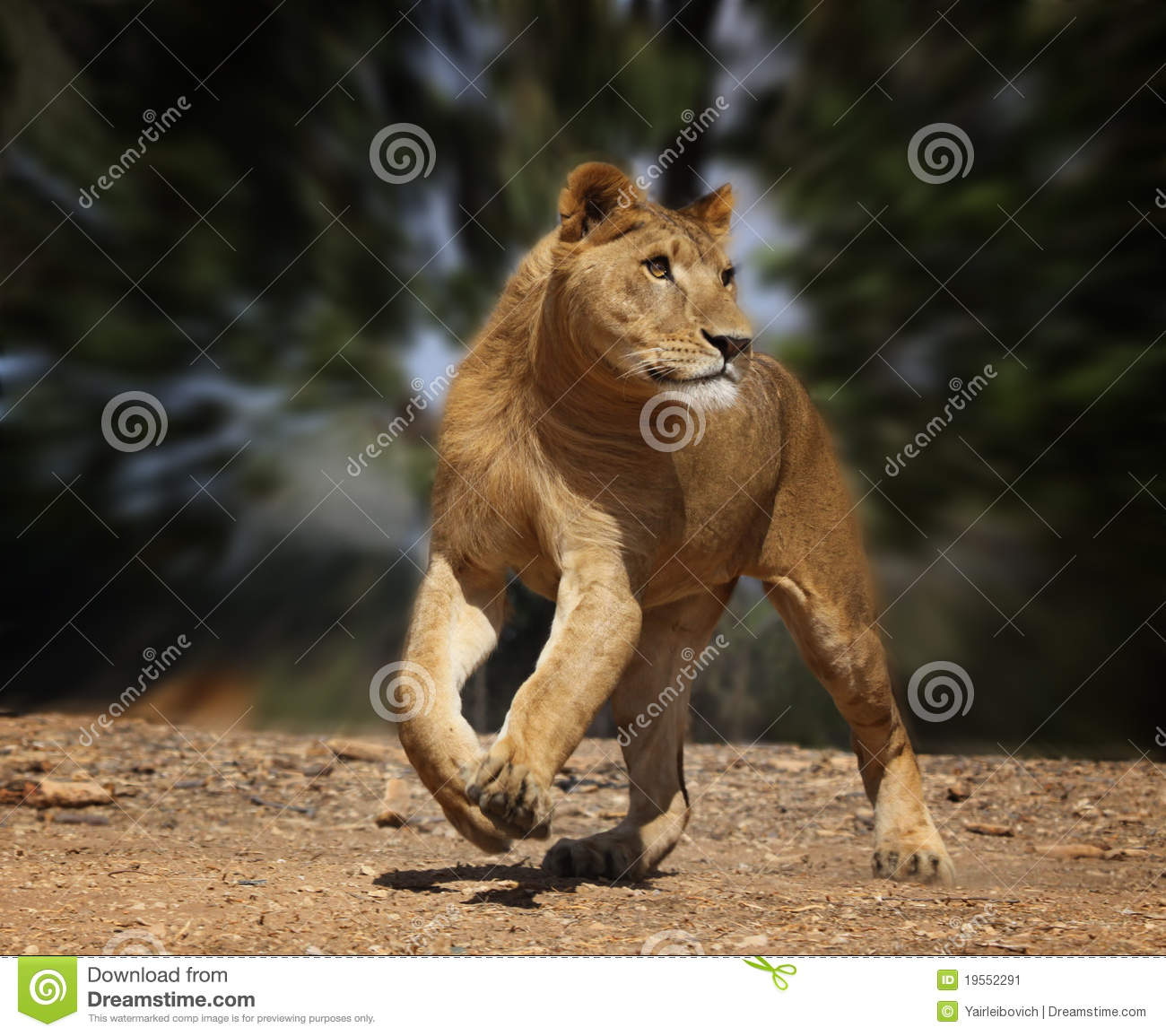 Big W Runners Running Lion Stock Image Image Of Lion Carnivore Beast