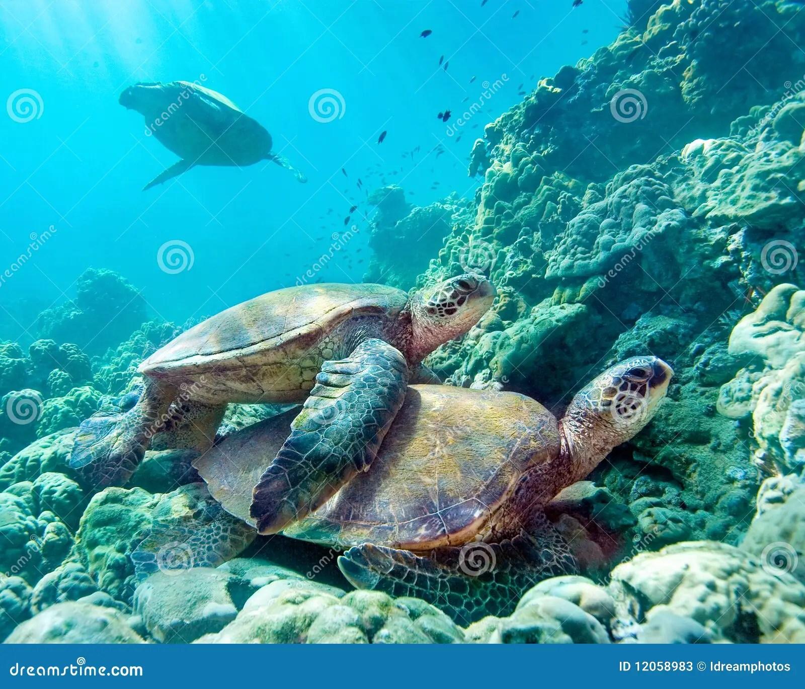 Hd Fish Live Wallpaper For Pc Sea Turtles Maui Hawaii Stock Image Image Of Close Shell