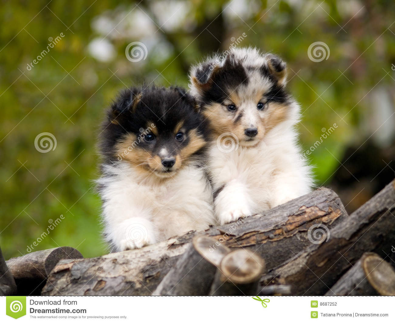 Cute Puppies Wallpaper Backgrounds Sheltie Puppies Stock Photo Image Of Friends Small