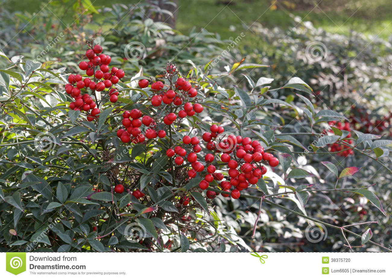 Plant Met Rode Bessen Shrub With Red Berries Stock Photo Image 38375720