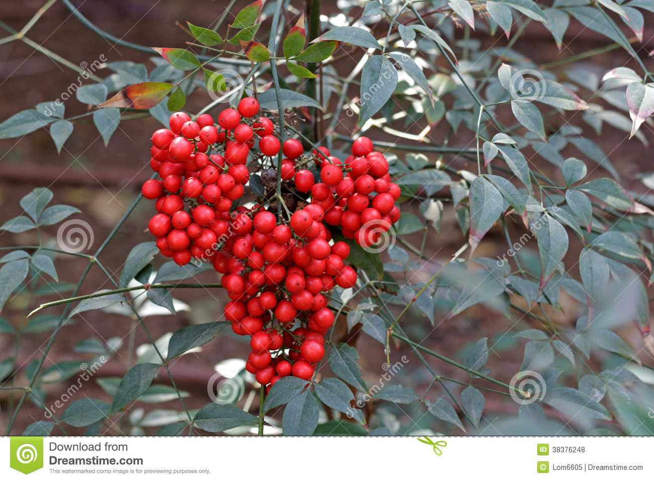 Plant Met Rode Bessen Shrub With Red Berries Royalty Free Stock Photos Image