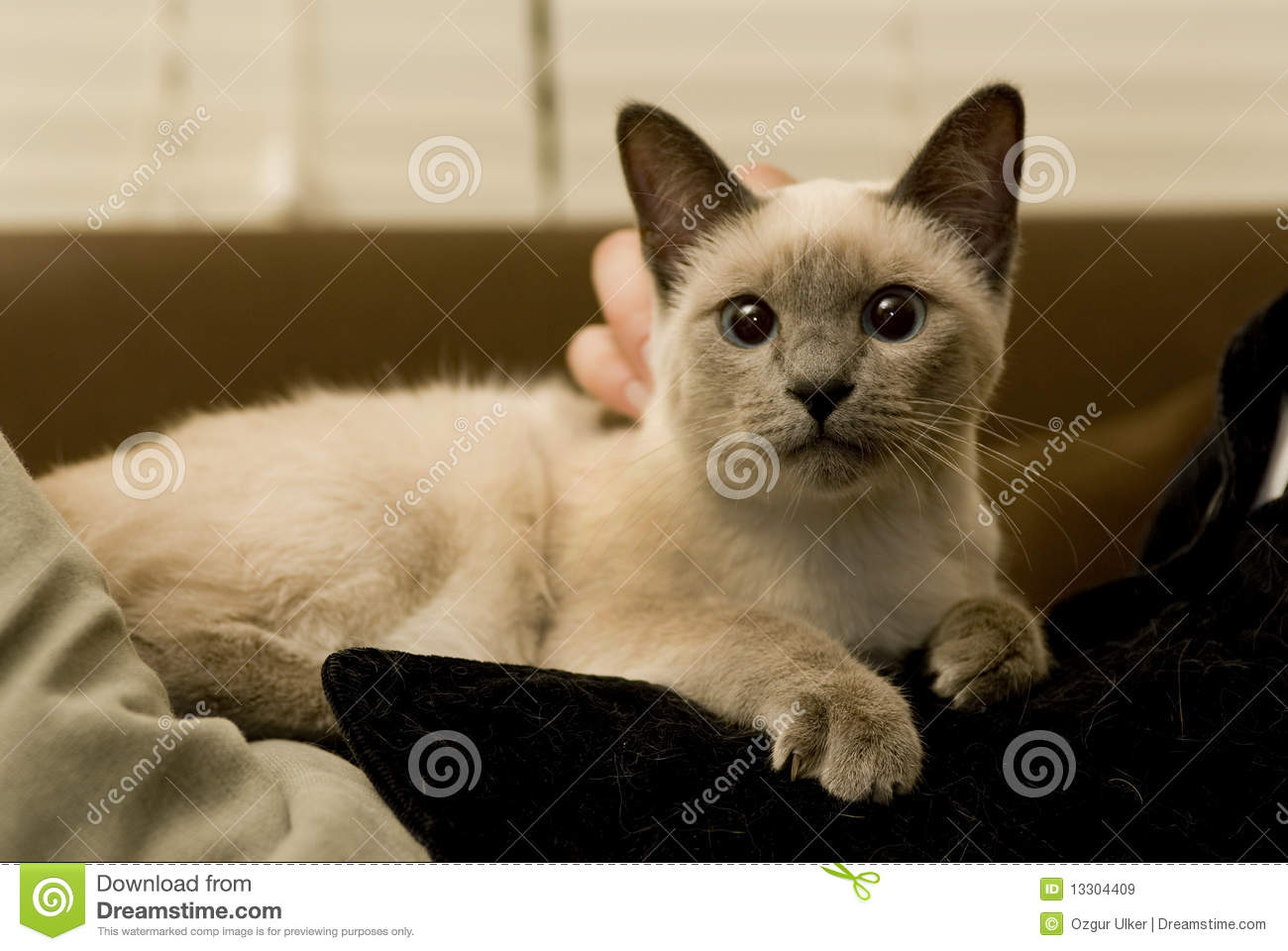 Lying On The Sofa Siamese Cat On Human Lap Royalty Free Stock Images - Image