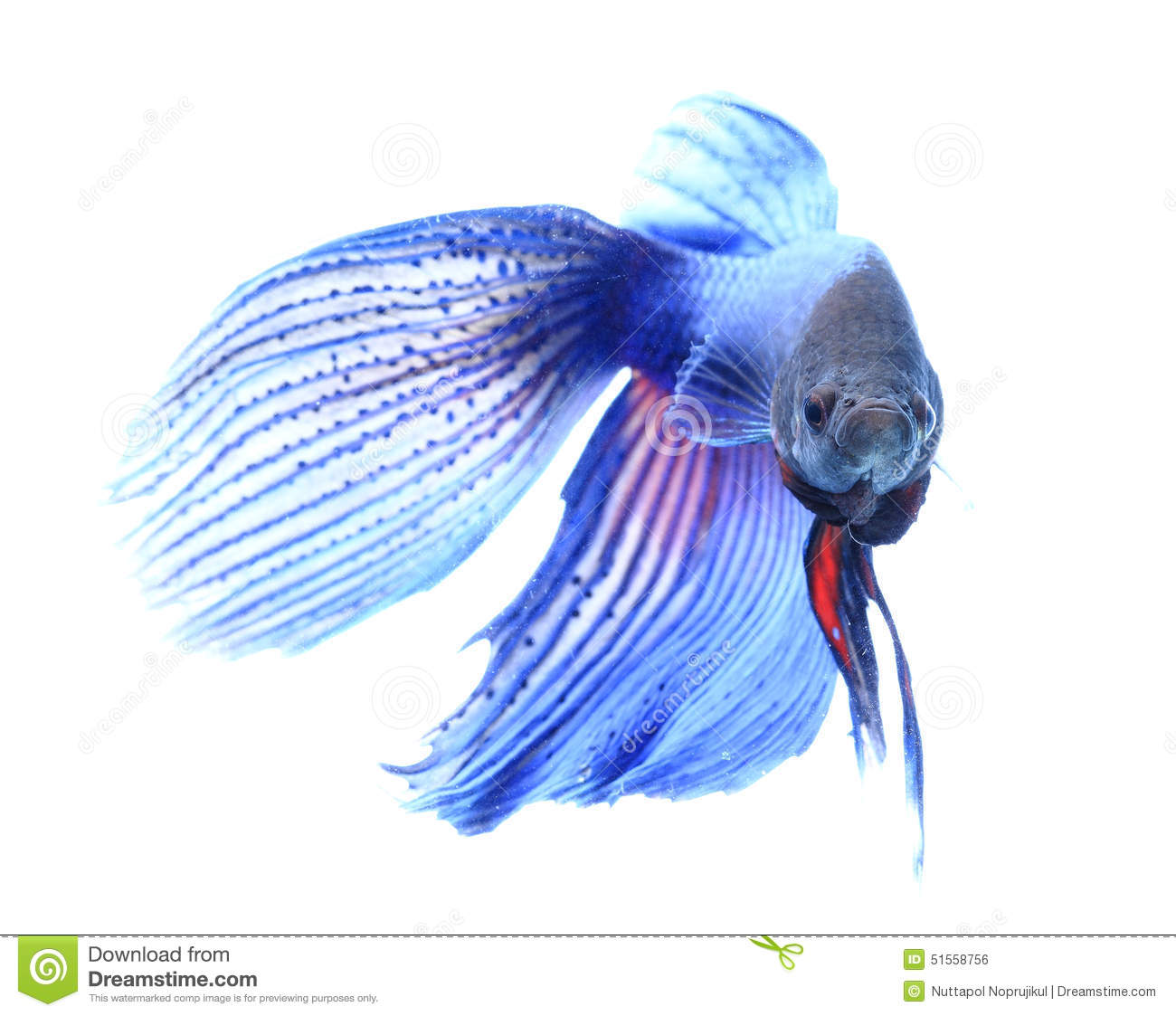 Fighter Fish Hd Wallpaper Download Siamese Fighting Fish Betta Isolated On White Background
