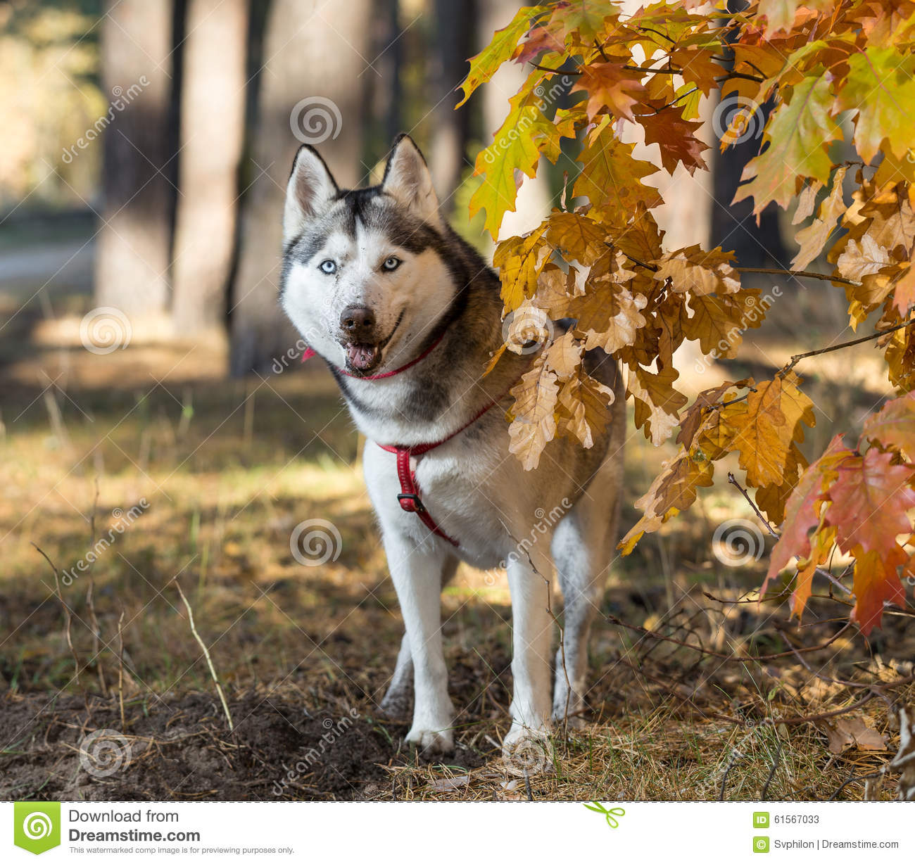 Fall Dog Wallpaper Siberian Husky In Autumn Forest Stock Image Image 61567033