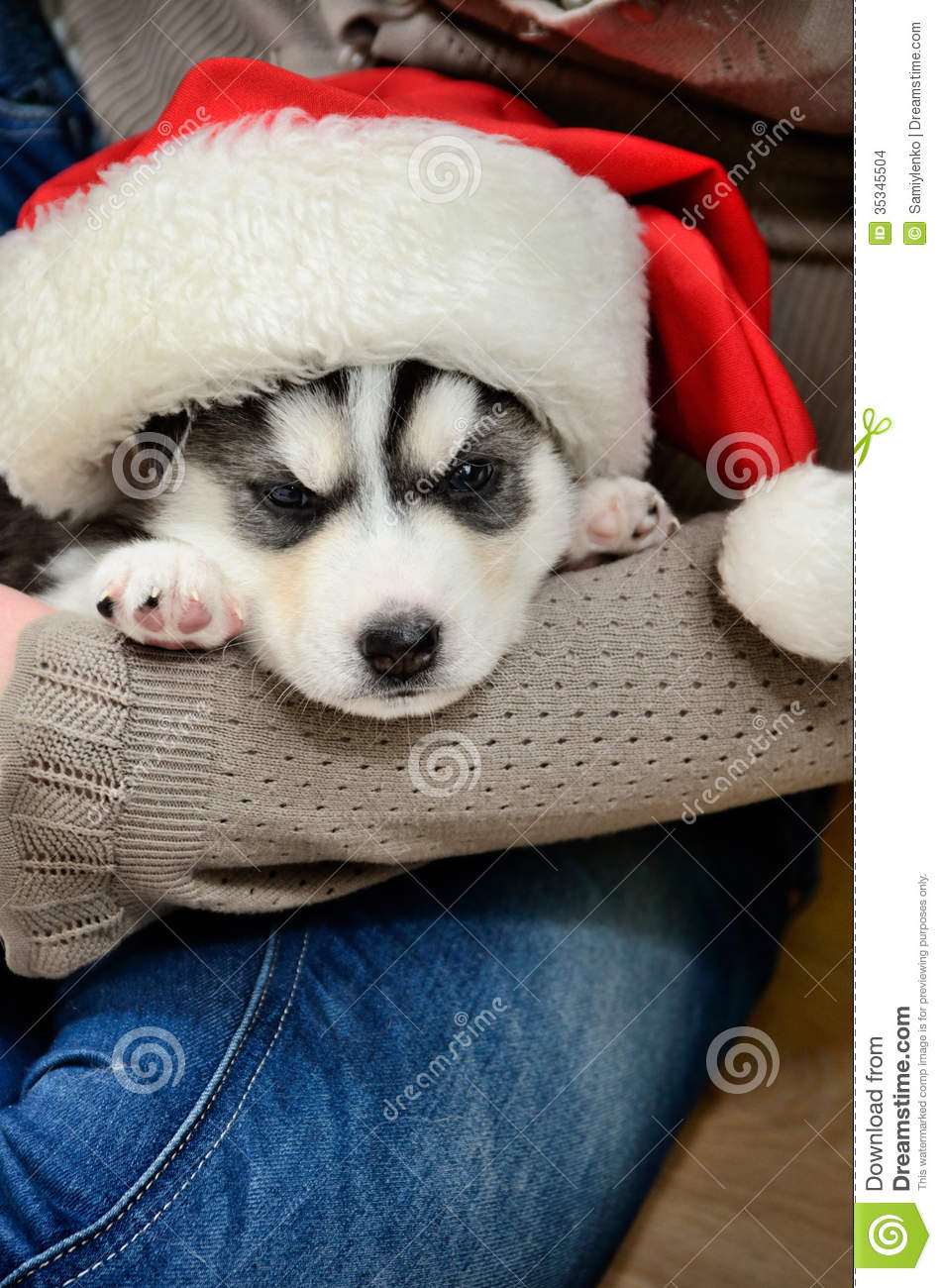 Cute Husky Wallpaper Siberian Husky Puppy On Hands Stock Images Image 35345504