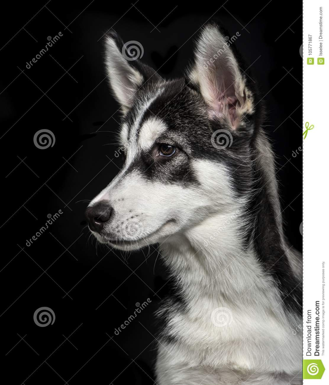 Husky 2 Meses Siberian Husky Puppy 5 Months Old Stock Images Download 108