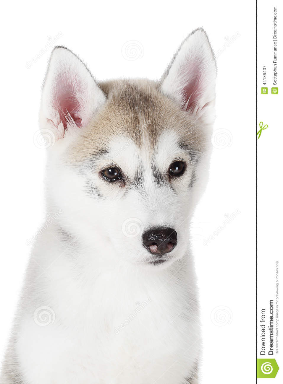 Husky 2 Meses Siberian Husky Small 2 Months Isolated On White Background Stock