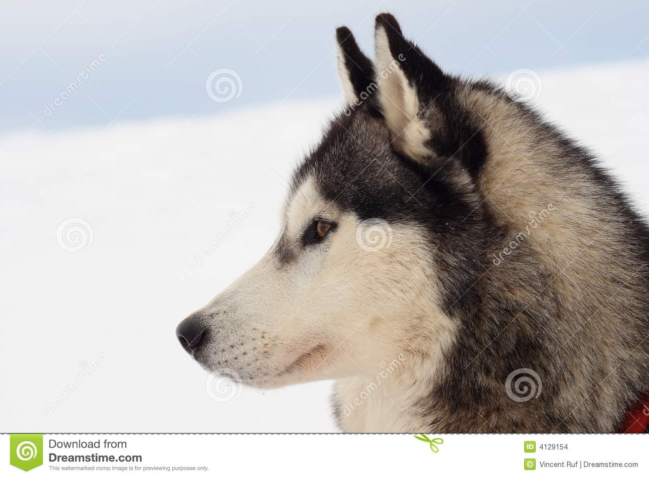 Bettwäsche Dog Side My Side Side Portrait Of Husky Dog Stock Photo Image Of Mammal
