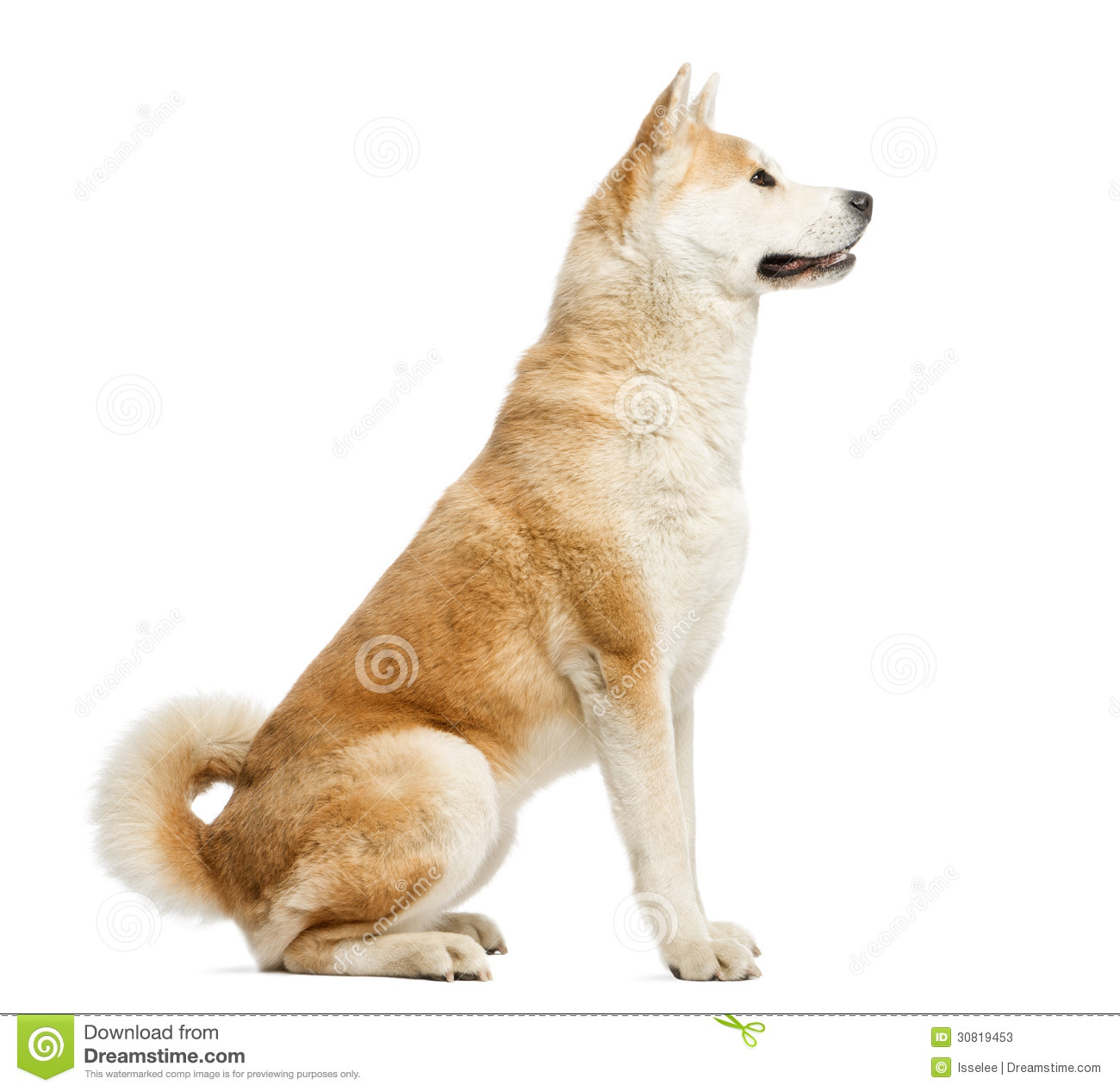Bettwäsche Dog Side My Side Side View Of Akita Inu Sitting 2 Years Old Stock Image