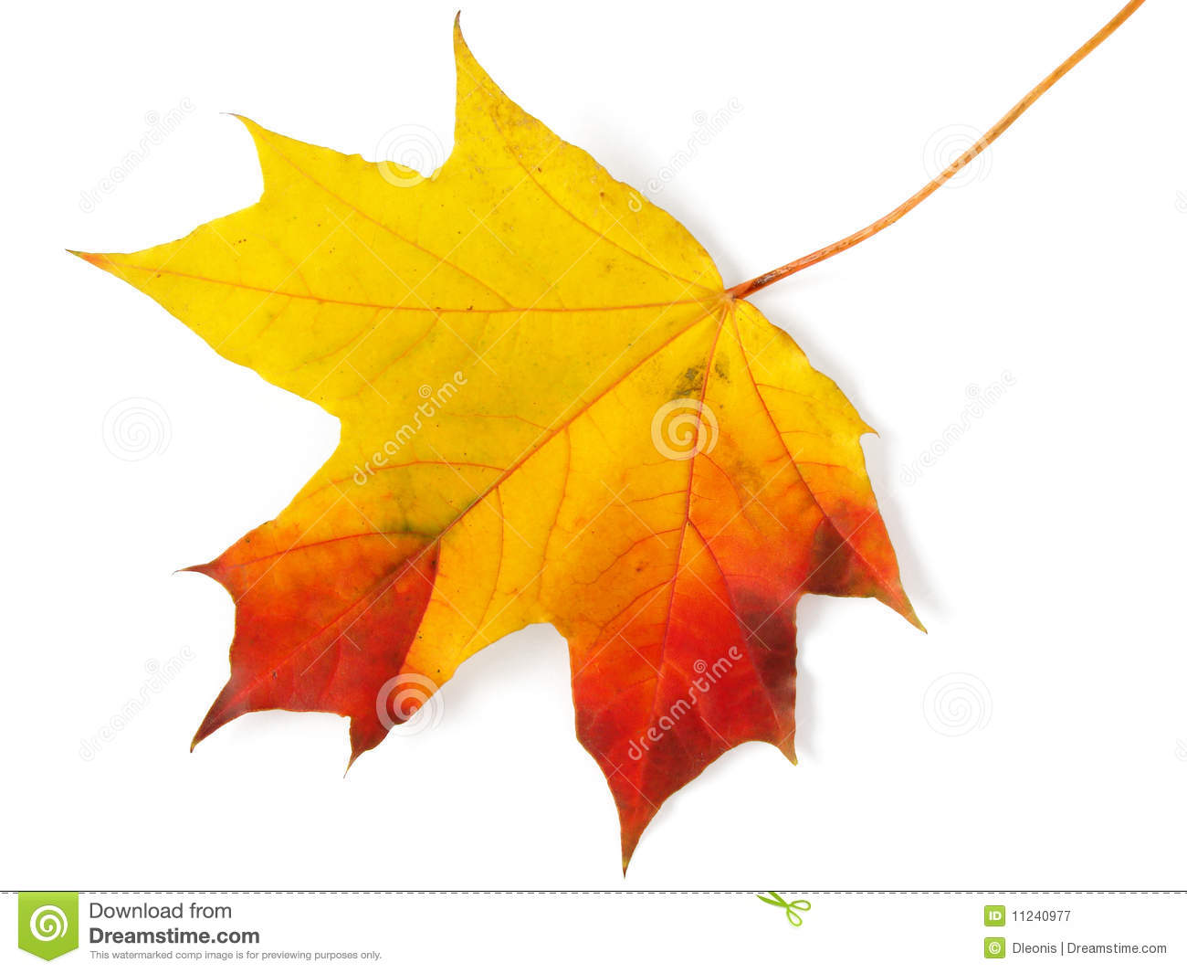 Maple Leaf Wallpaper For Fall Season Single Maple Leaf Stock Image Image Of October Color