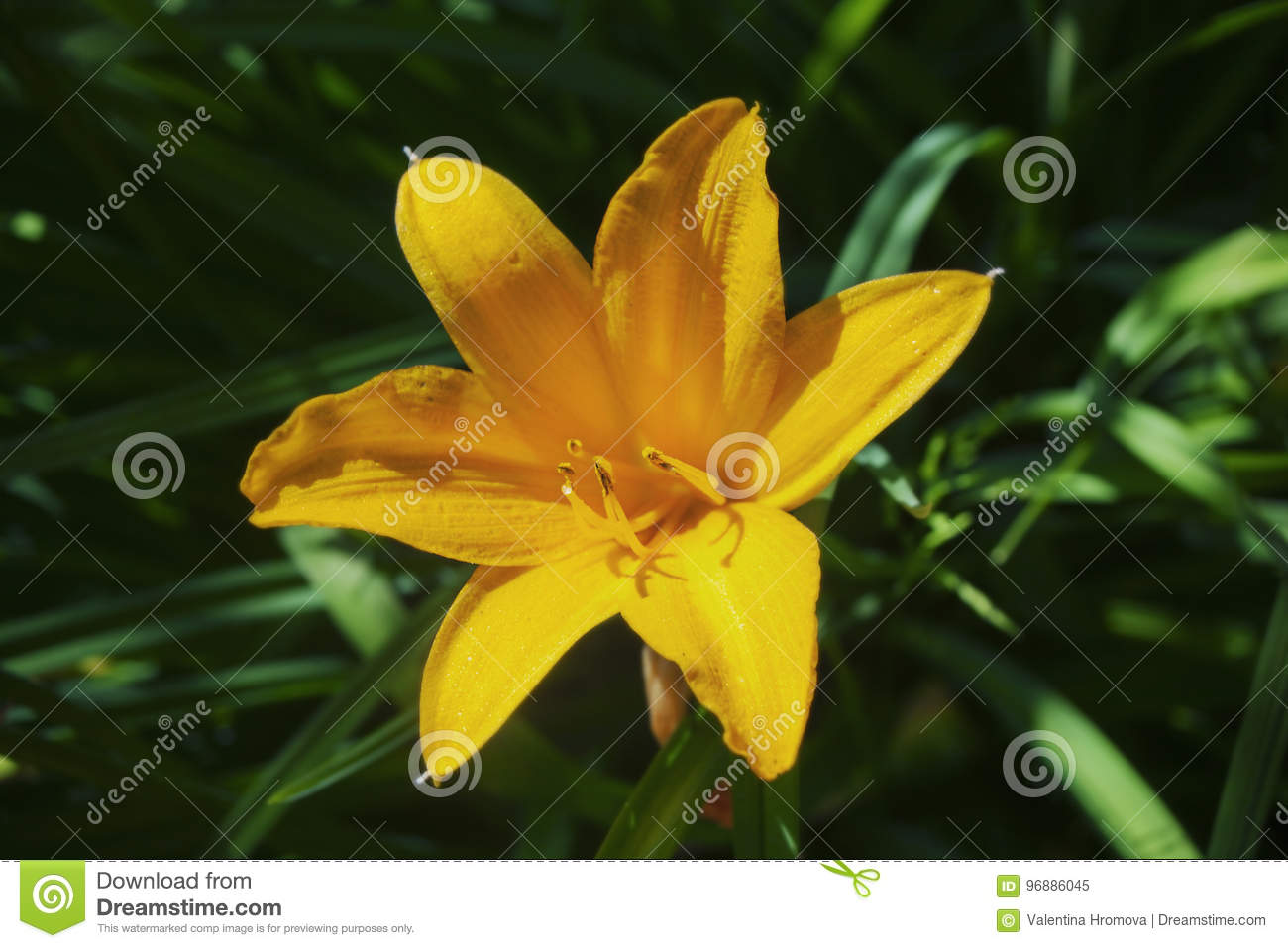 Single Yellow Lilie With Orange Shadows On A Background Of Green Grass Close Up Stock Image Image Of Flora Nature 96886045