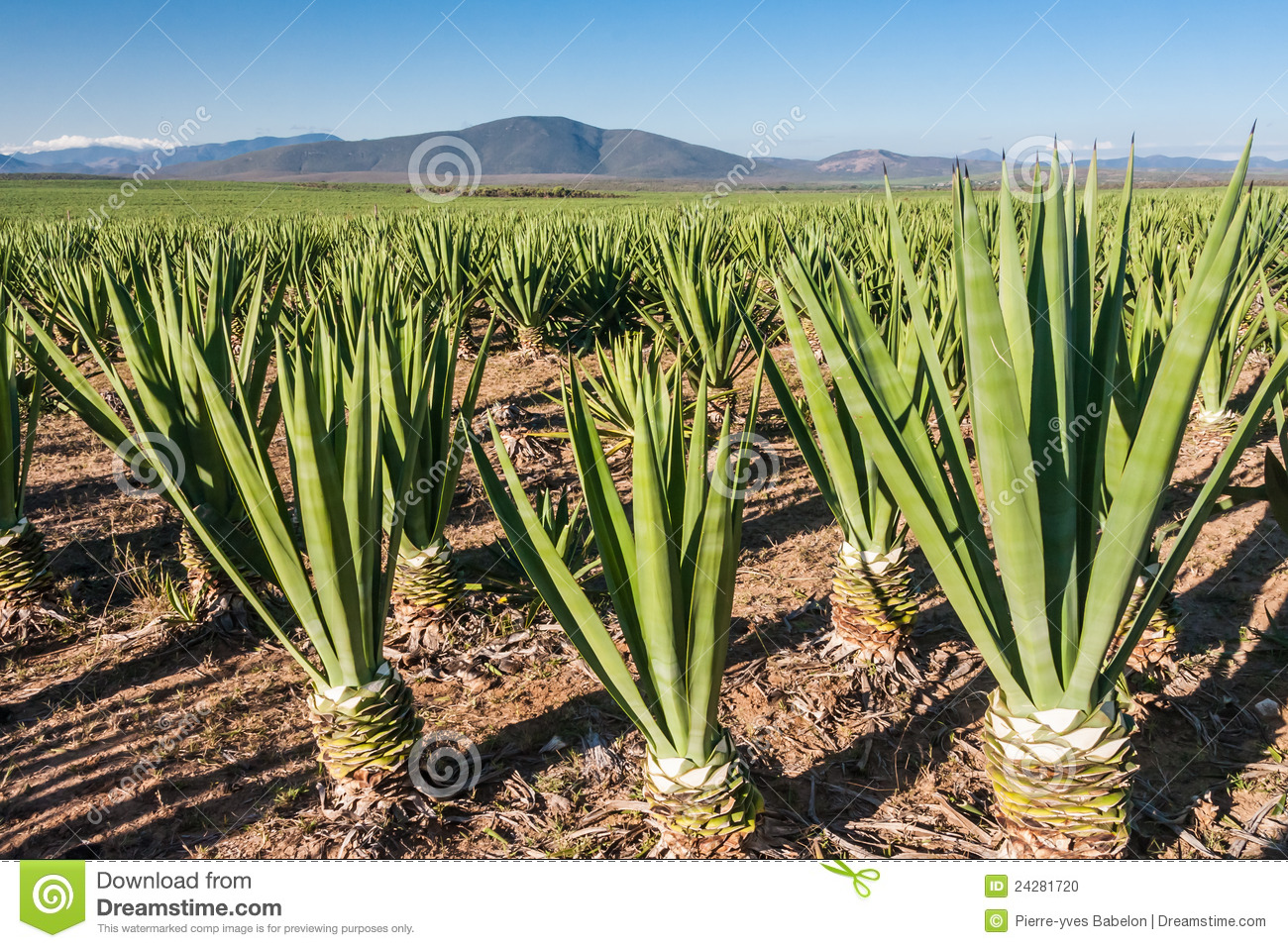 Cisale Sisal Plantation Stock Photo Image Of Anosy Plant