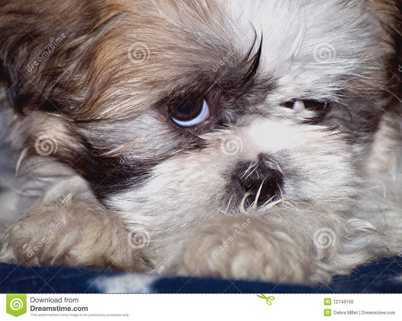 Cute Shih Tzu Puppies Wallpaper Sleepy Shih Tzu Lapso Puppy Stock Photo Image Of Animals
