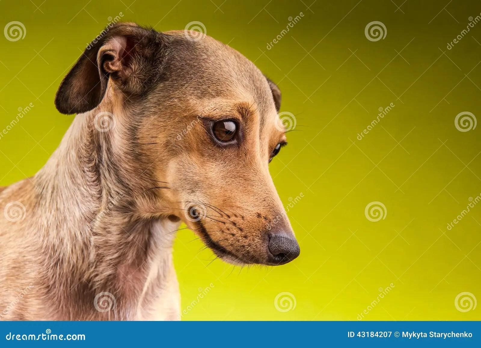 Cute Paw Print Wallpaper Small Brown Short Hair Dachshund Dog Stock Image Image