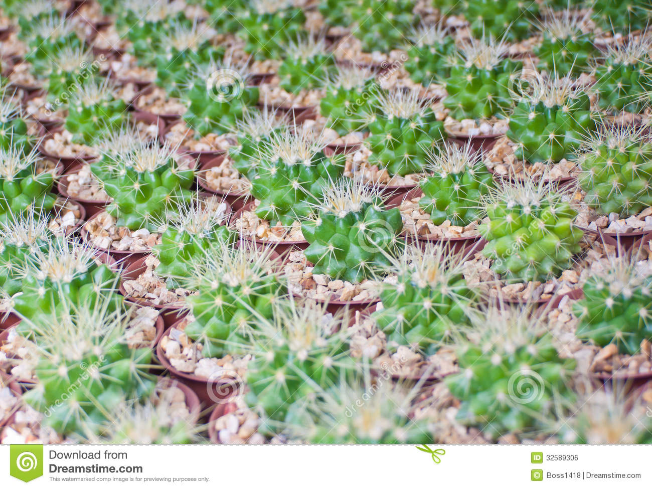 Small Succulent Plants For Sale Small Cactus Plant Royalty Free Stock Image Image 32589306