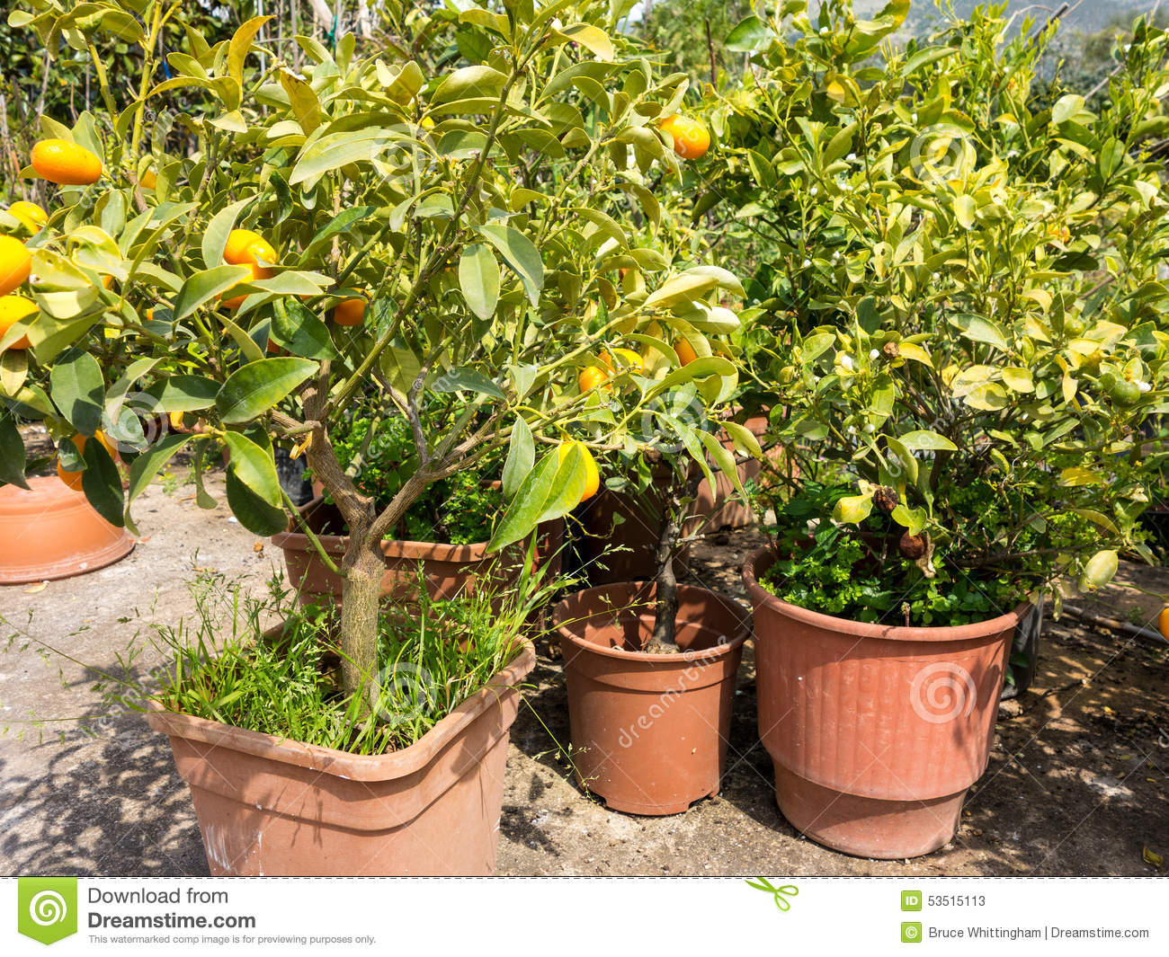Plant Pot Sale Small Orange Trees In Pant Nursery Stock Image Image Of