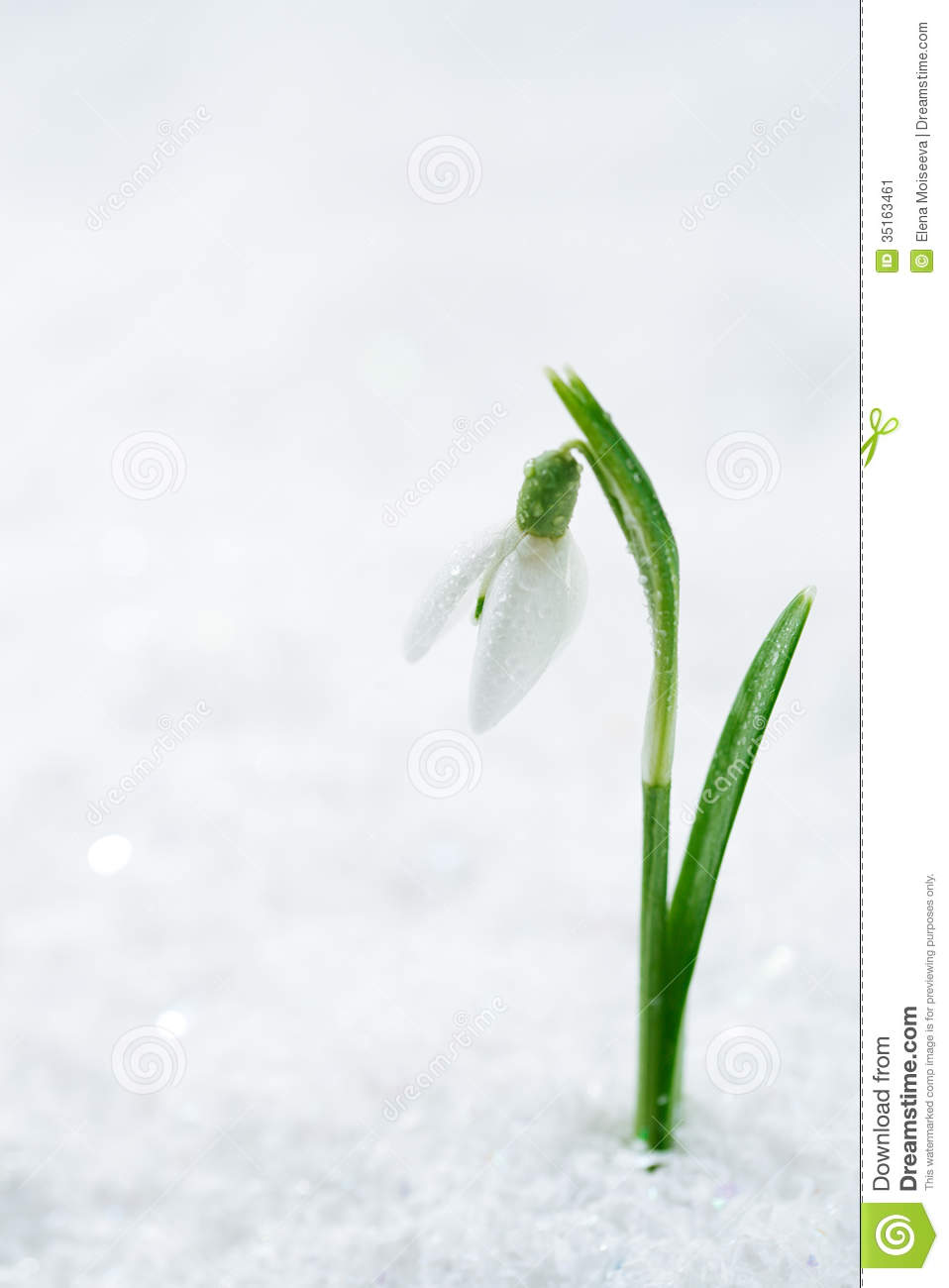 Fall Season Wallpaper Free Snowdrop Flower On White Studio Snow Soft Focus Perfect