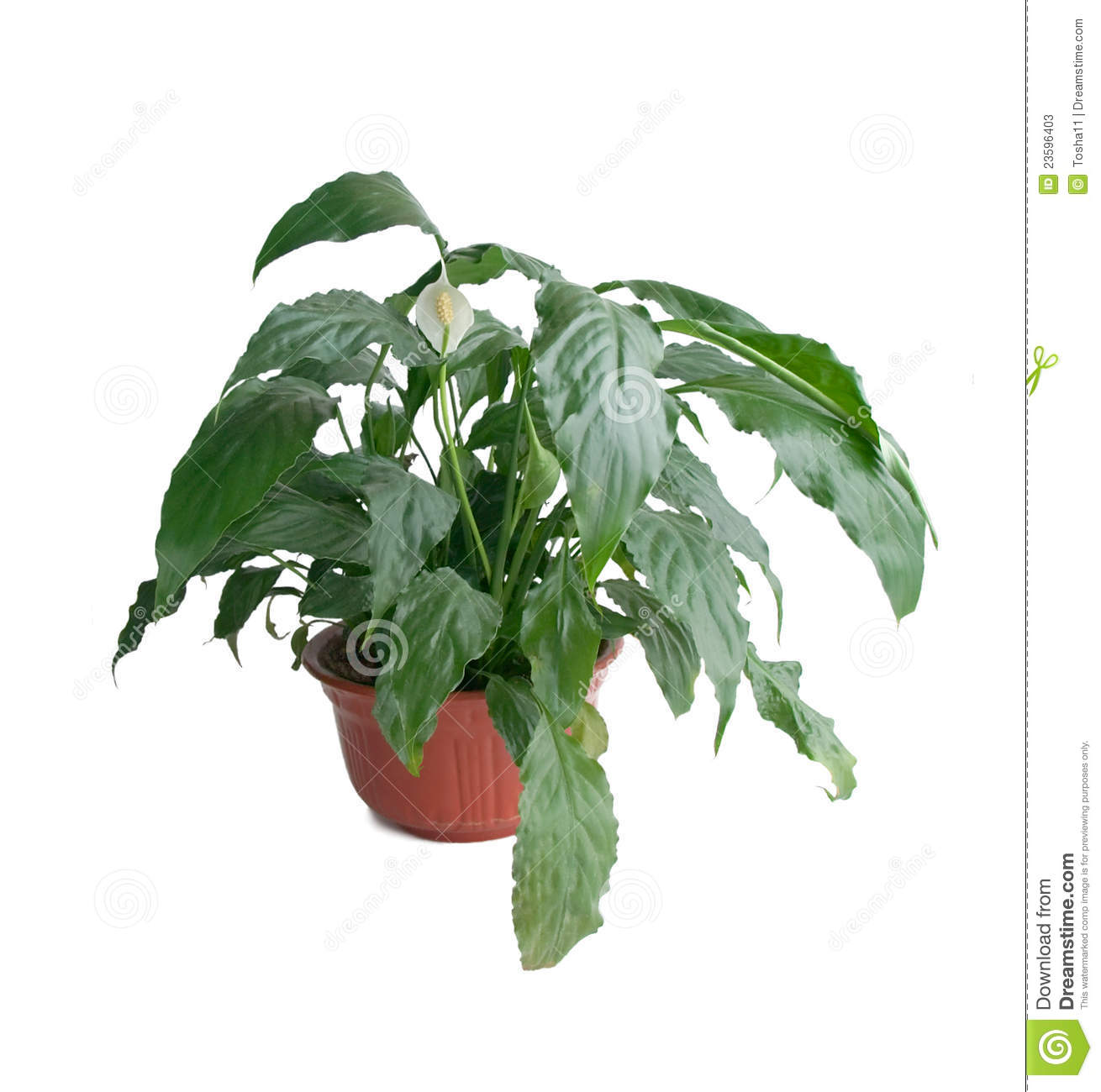Spathiphyllum Wallisii Spathiphyllum Wallisii Stock Image Image Of Blooming 23596403