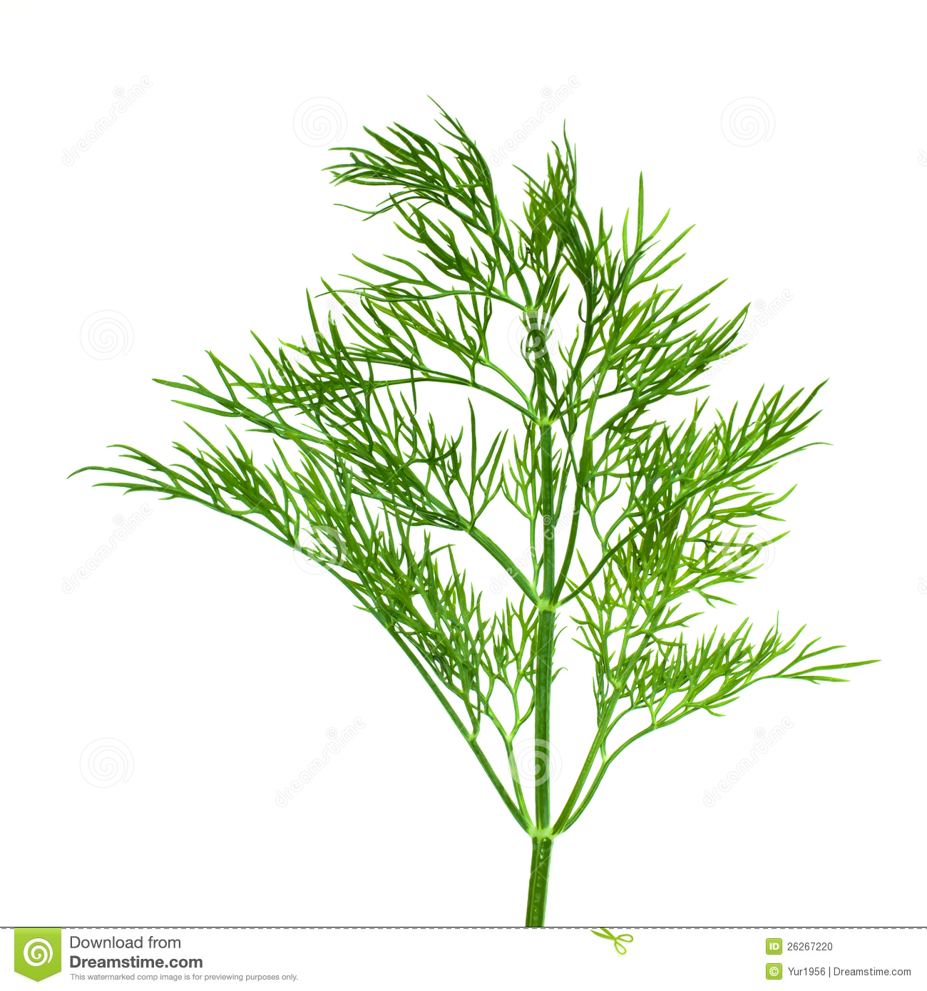 Mr White Koper Sprig Of Dill Stock Photo Image 26267220