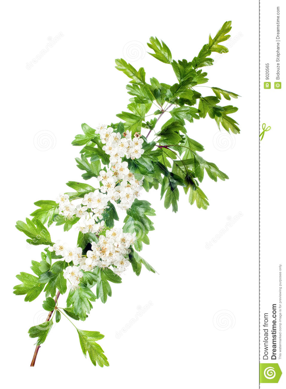 New 3d Animation Wallpaper Spring Hawthorn Blossom Royalty Free Stock Photo Image