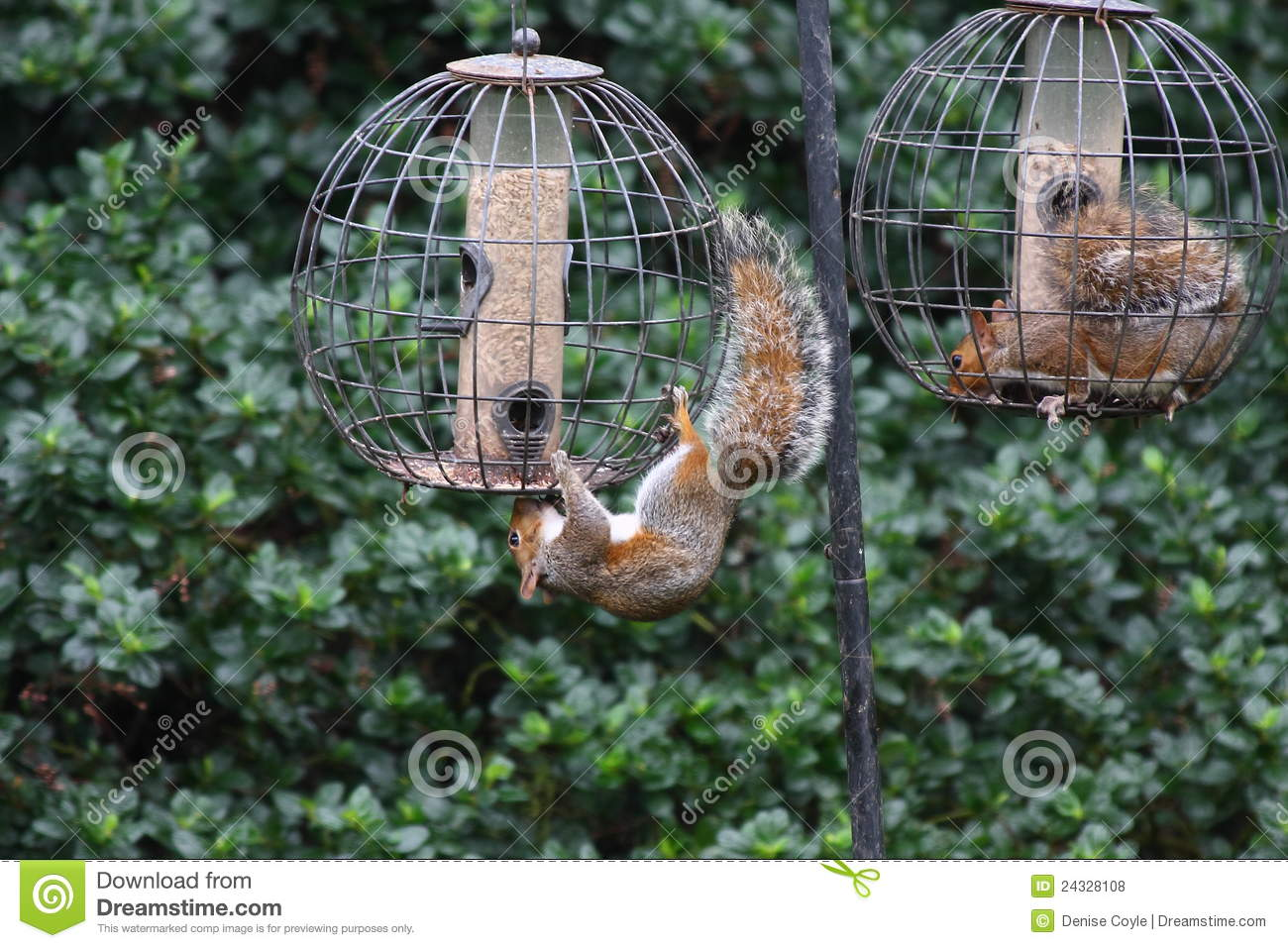Diy Bird Feeder Cage Squirrels Invading Bird Feeders Stock Photo Image Of