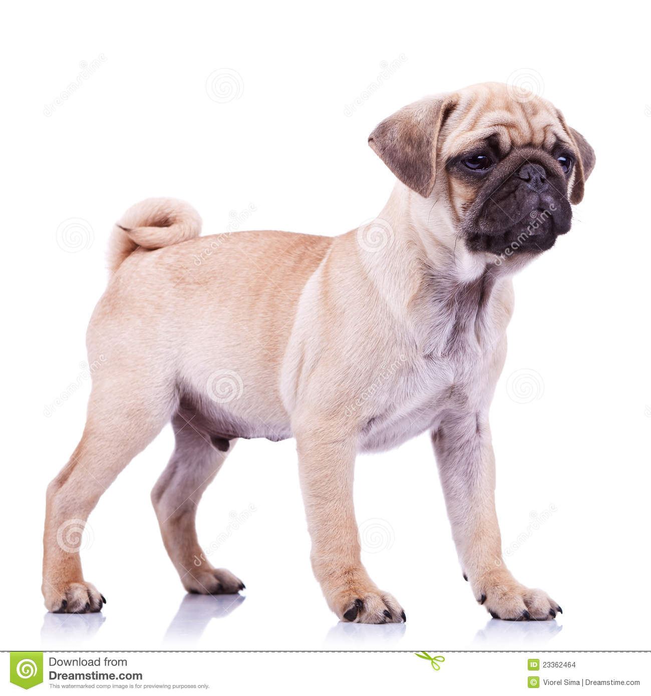 Bettwäsche Dog Side My Side Standing Pug Puppy Dog Looking To A Side Stock Photo